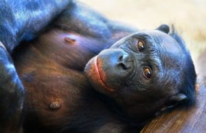 Bonobo loungingPhoto by: Jeroen Kransenhttps://creativecommons.org/licenses/by-sa/2.0/