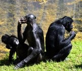 A Group Of Bonobos Lounging By A Pond Photo By: Paul Brennan //pixabay.com/photos/bonobo-Apes-Primate-Zoo-2857764/