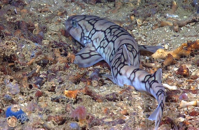 This deep sea fish is a catsharkPhoto by: NOAA Photo Library Followhttps://creativecommons.org/licenses/by/2.0/