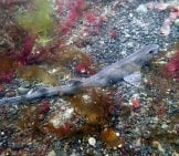 Dogfish Camouflaged On The Ocean Floor Photo By: Heartypanther Https://Creativecommons.org/Licenses/By/2.0/