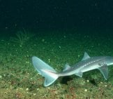 Dogfish – A Rarely-Seen Deep-Sea Animal, Off The Coast Olympic Coast National Marine Sanctuary Photo By: Noaa'S National Ocean Service Https://Creativecommons.org/Licenses/By/2.0/