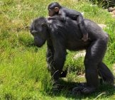 Mama Chimp Giving Her Baby A Piggy-Back Ride! Photo By: Russellstreet Https://Creativecommons.org/Licenses/By-Sa/2.0/