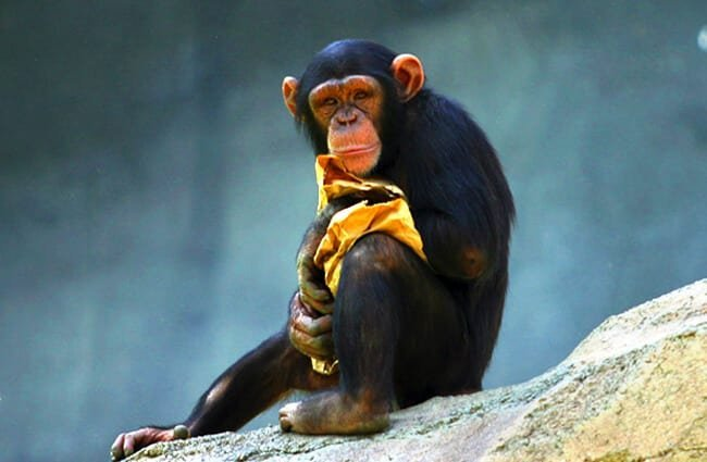 Portrait of a juvenile Chimp Photo by: Aaron Logan https://creativecommons.org/licenses/by-sa/2.0/