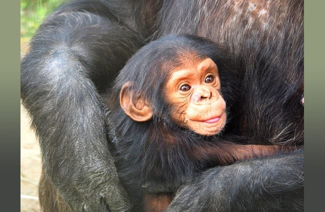 Baby Chimpanzee snuggling with Mom Photo by: Stefan Roelofs https://pixabay.com/photos/chimpanzee-baby-mother-love-830535/
