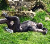 Chimp Chillin' Out Photo By: Bernd Hildebrandt Https://pixabay.com/photos/chimpanzee-Monkey-Ape-Zoo-Tired-751238/