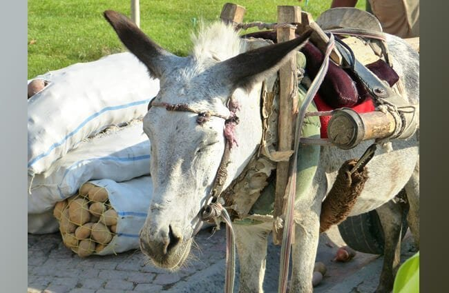 Donkey pack animal Photo by: LoggaWiggler https://pixabay.com/photos/donkey-beast-of-burden-packed-197026/