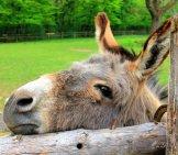 Curious Donkeyphoto By: Annaerhttps://pixabay.com/photos/animal-Donkey-Head-Eyes-Ears-197161/