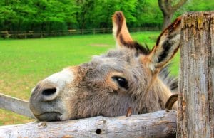 Curious DonkeyPhoto by: AnnaERhttps://pixabay.com/photos/animal-donkey-head-eyes-ears-197161/