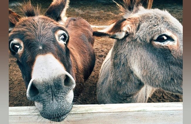 Two donkeys in a corral Photo by: Wokandapix https://pixabay.com/photos/donkey-farm-animal-ass-1725230/