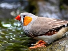 Zebra Finch at the side of a streamPhoto by: minka2507//pixabay.com/photos/zebra-finch-bird-animal-4287459/