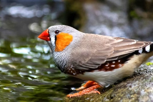 Zebra Finch at the side of a streamPhoto by: minka2507https://pixabay.com/photos/zebra-finch-bird-animal-4287459/