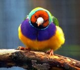 Meet The Colorful Gouldian Finch! Photo By: Skeeze Https://pixabay.com/photos/gouldian-Finch-Bird-Wildlife-Nature-1929283/