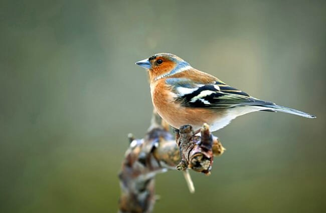 Chaffinch on a dead branch Photo by: John Fotheringham https://pixabay.com/photos/bird-chaffinch-nature-wildlife-3901852/