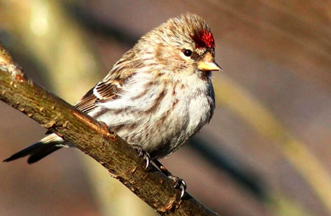 A pretty Redpoll Finch Photo by: Karen Arnold https://pixabay.com/photos/redpoll-finch-bird-wildlife-nature-940196/
