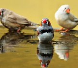 Zebra Finches In The Bird Bath Photo By: S. Hermann & F. Richter Https://pixabay.com/photos/zebra-Finch-Birds-Red-Beak-Bill-1440055/