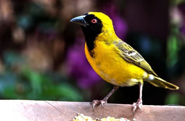 Yellow Finch Photo by: Juanita Mulder https://pixabay.com/photos/yellow-finch-bird-garden-nature-1842041/