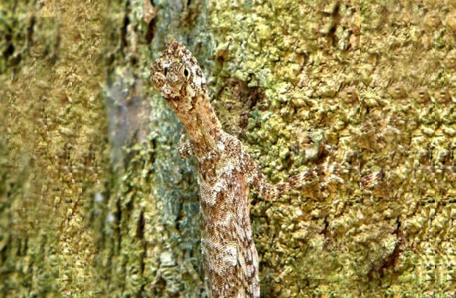 The excellent camouflage of the Common Gliding Lizard Photo by: Len Worthington https://creativecommons.org/licenses/by/2.0/