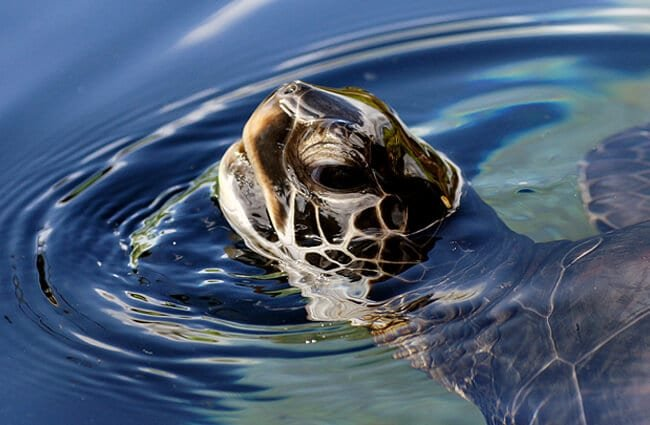 Green Sea Turtle Photo by: Bernard Spragg. NZ https://creativecommons.org/licenses/by/2.0/