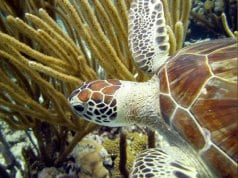 Beautiful Green Sea TurtlePhoto by: Amanda//creativecommons.org/licenses/by/2.0/