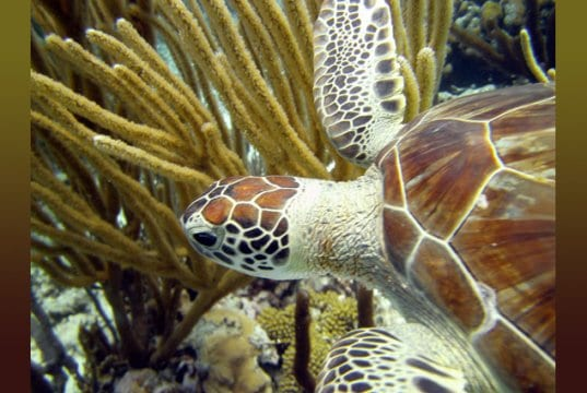 Beautiful Green Sea TurtlePhoto by: Amandahttps://creativecommons.org/licenses/by/2.0/