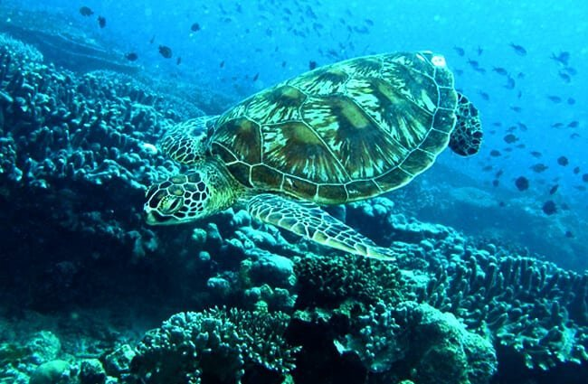 Green Sea Turtle photographed in Malaysia Photo by: Bernard DUPONT https://creativecommons.org/licenses/by/2.0/