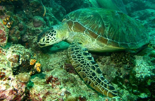Closeup of a Green Turtle Photo by: Bernard DUPONT https://creativecommons.org/licenses/by/2.0/