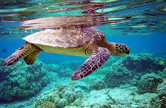 Green Turtle, swimming under his reflection Photo by: Mila Zinkova https://creativecommons.org/licenses/by/2.0/