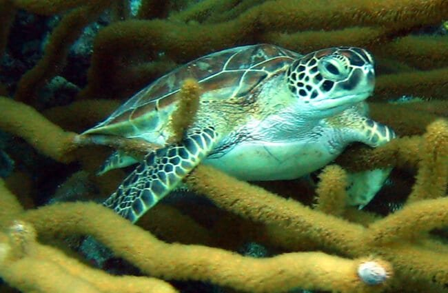 Small Green Turtle hiding Photo by: Roban Kramer https://creativecommons.org/licenses/by/2.0/