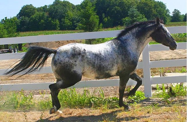 Proud and prancing Appaloosa Photo by: Rachel Gutbrod https://creativecommons.org/licenses/by/2.0/