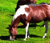 Paint Quarter Horse Grazing Photo By: Rennett Stowe Https://creativecommons.org/licenses/by/2.0/