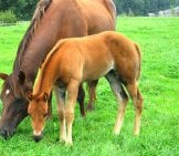 Quarter Horse Mare With Her Foal Photo By: Evelynbelgium Https://creativecommons.org/licenses/by/2.0/
