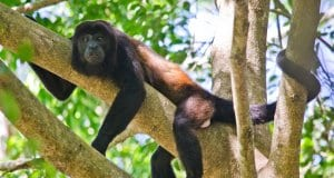 This Howler Monkey is lounging on a branch in Costa RicaPhoto by: Chuck Andolinohttps://creativecommons.org/licenses/by-sa/2.0/