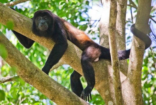 This Howler Monkey is lounging on a branch in Costa RicaPhoto by: Chuck Andolino//creativecommons.org/licenses/by-sa/2.0/