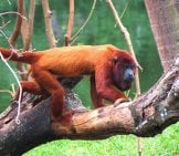 Red Howler Monkey Photo By: Miguel Rangel Jr Https://Creativecommons.org/Licenses/By-Sa/2.0/