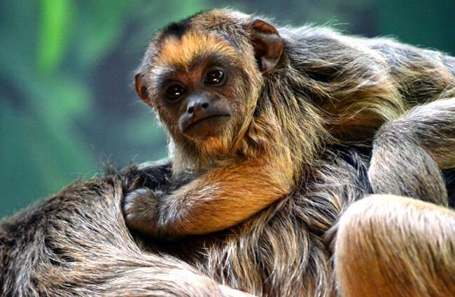 Baby Howler Monkey Photo by: angela n. https://creativecommons.org/licenses/by-sa/2.0/
