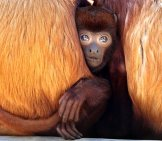 Cute Baby Red Howler Monkey Hiding With Mom Photo By: (C) Anolis Www.fotosearch.com