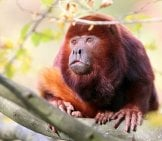 A Beautiful Red Howler Monkey Photo By: (C) Anolis Www.fotosearch.com
