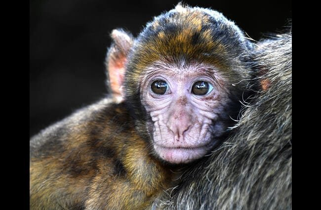 Closeup of a baby Macaque Photo by: christels https://pixabay.com/photos/monkey-baby-barbary-macaque-look-2790452/