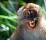 Smiling Macaca, Or The Crab-Eating Macaquephoto By: Thai National Parkswww.thainationalparks.com/tarutao-National-Marine-Park
