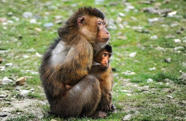 Barbary Macaque mother and baby Photo by: Rudy and Peter Skitterians https://pixabay.com/photos/barbary-ape-ape-barbary-macaque-384632/