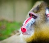 Mandrill In Profile Photo By: Mathias Appel Https://creativecommons.org/licenses/by-Nd/2.0/