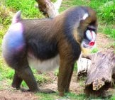Mandrill At The San Francisco Zoo Photo By: ((Brian)) //creativecommons.org/licenses/by-Nd/2.0/