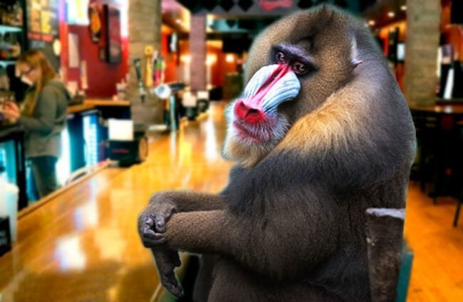 Mandrill Photo by: Tim Snell https://creativecommons.org/licenses/by-nd/2.0/