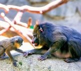 Mandrill Mom Playing With Baby Photo By: Eric Kilby Https://creativecommons.org/licenses/by-Nd/2.0/