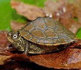 Mississippi Map Turtle Photo By: Peter Paplanus Https://creativecommons.org/licenses/by-Sa/2.0/