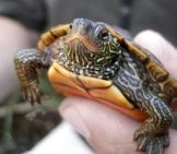 Map Turtle Ready For Release Into The Wildphoto By: Usfws Midwest Regionhttps://creativecommons.org/licenses/by-Sa/2.0/