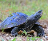 Northern Map Turtle Photo By: Yankech Gary Https://creativecommons.org/licenses/by-Sa/2.0/