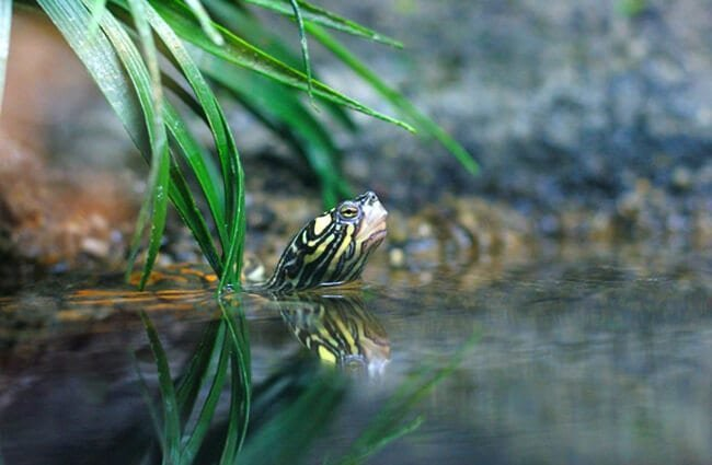 Yellow-blotched Map Turtle Photo by: Ryan Poplin https://creativecommons.org/licenses/by-sa/2.0/