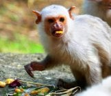 Silvery Marmoset Having A Snack Photo By: Henry Burrows Https://creativecommons.org/licenses/by-Sa/2.0/