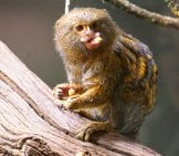 Pygmy Marmoset Eating Photo By: Henry Burrows Https://creativecommons.org/licenses/by-Sa/2.0/